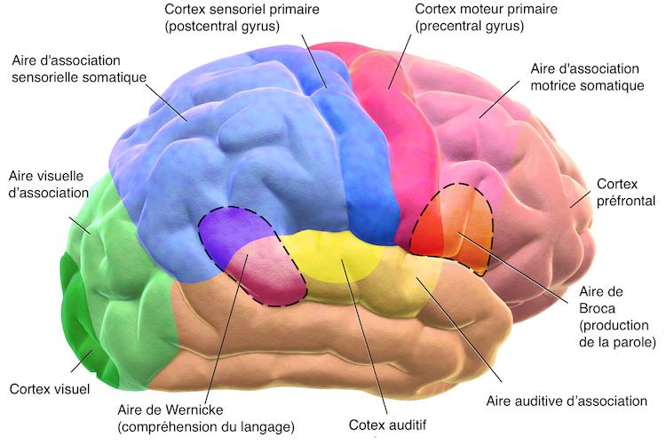 Les différentes zones d'activité du cerveau