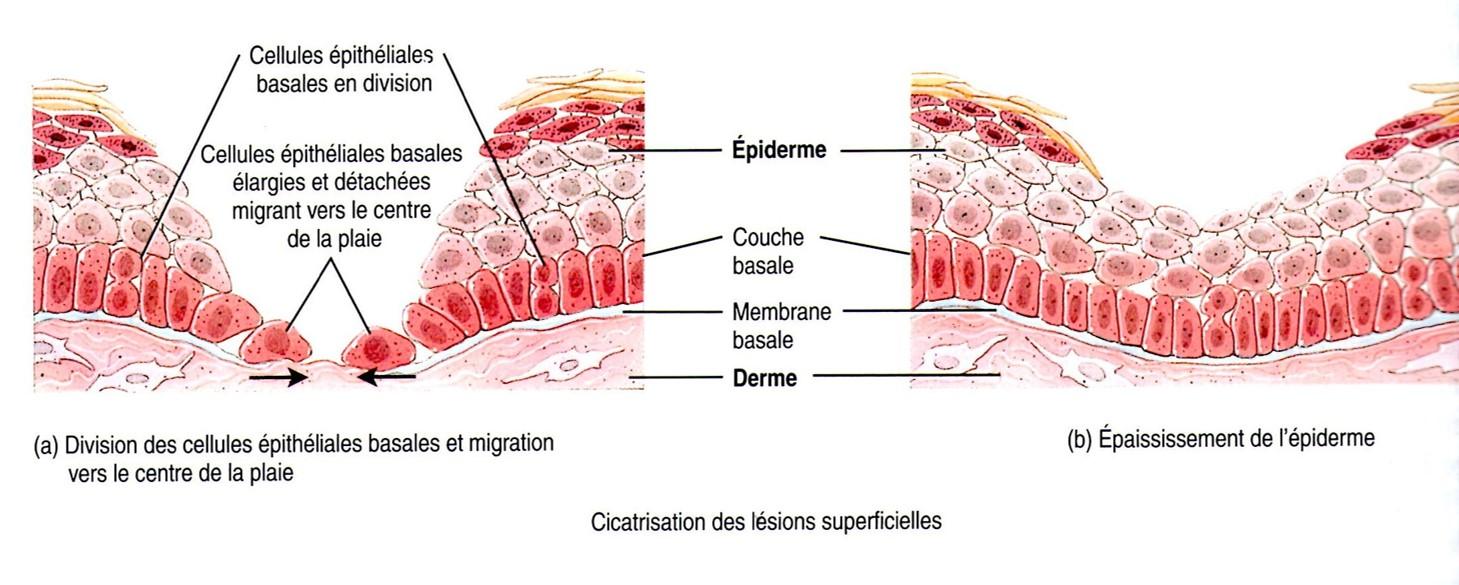 cicatrisation lésion superficielle